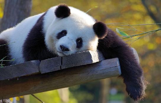 Panda Pajama Party, Grades K-2