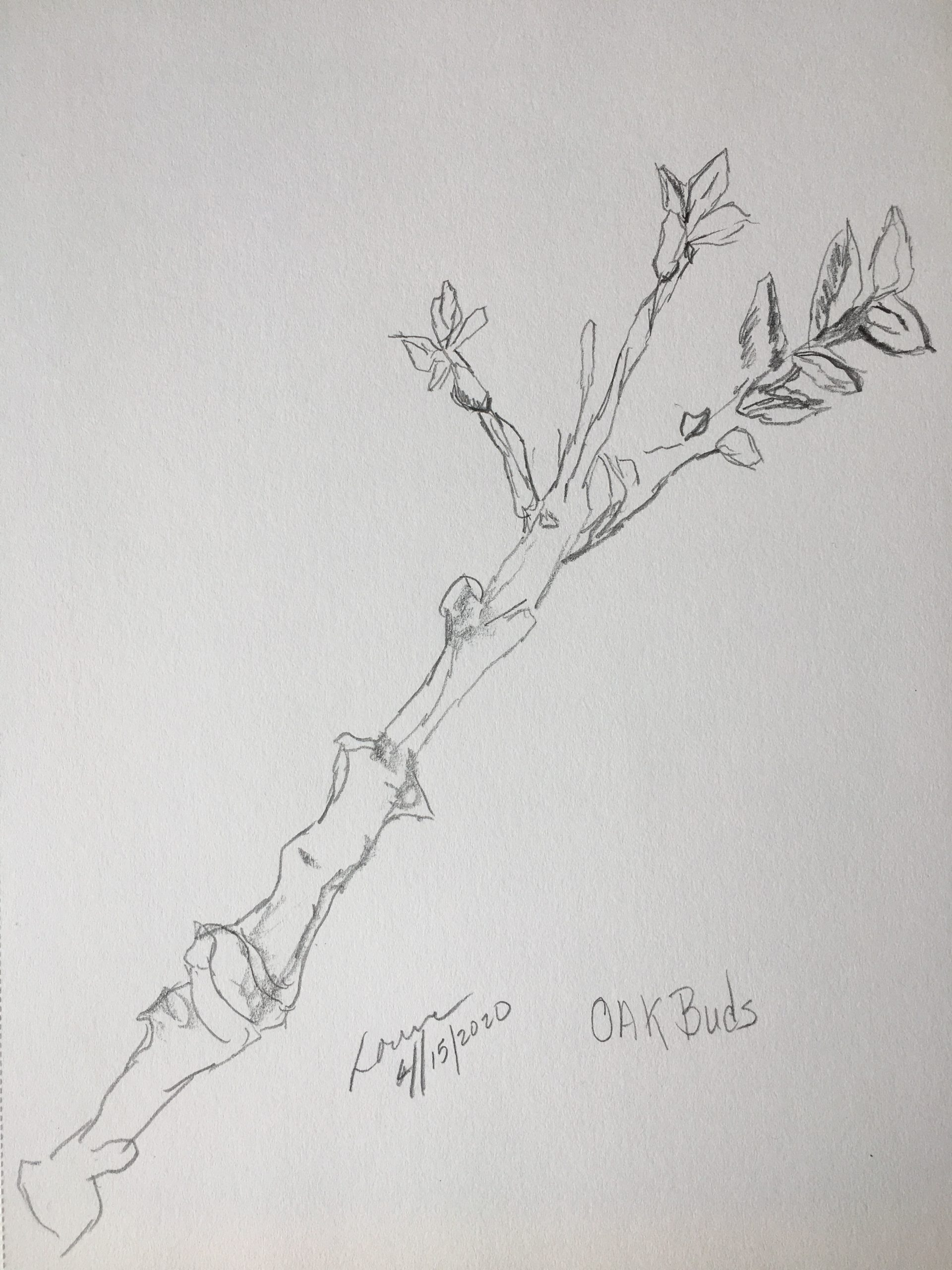 Oak Buds By Lorena Doherty