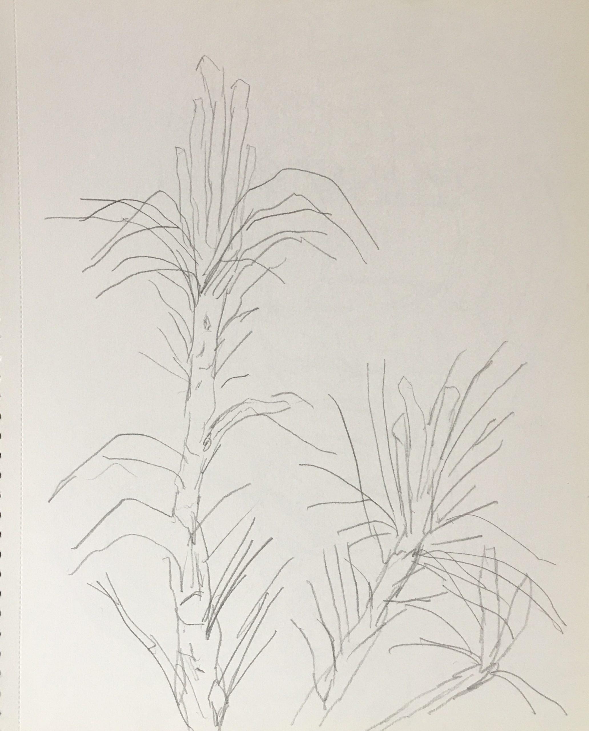 Art For Now - Scotch Pine Sketch