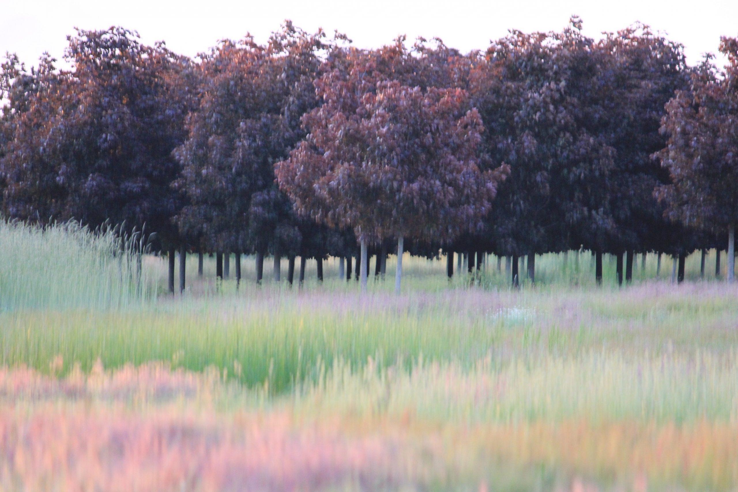 Blurry Purple Trees - Lorena Doherty